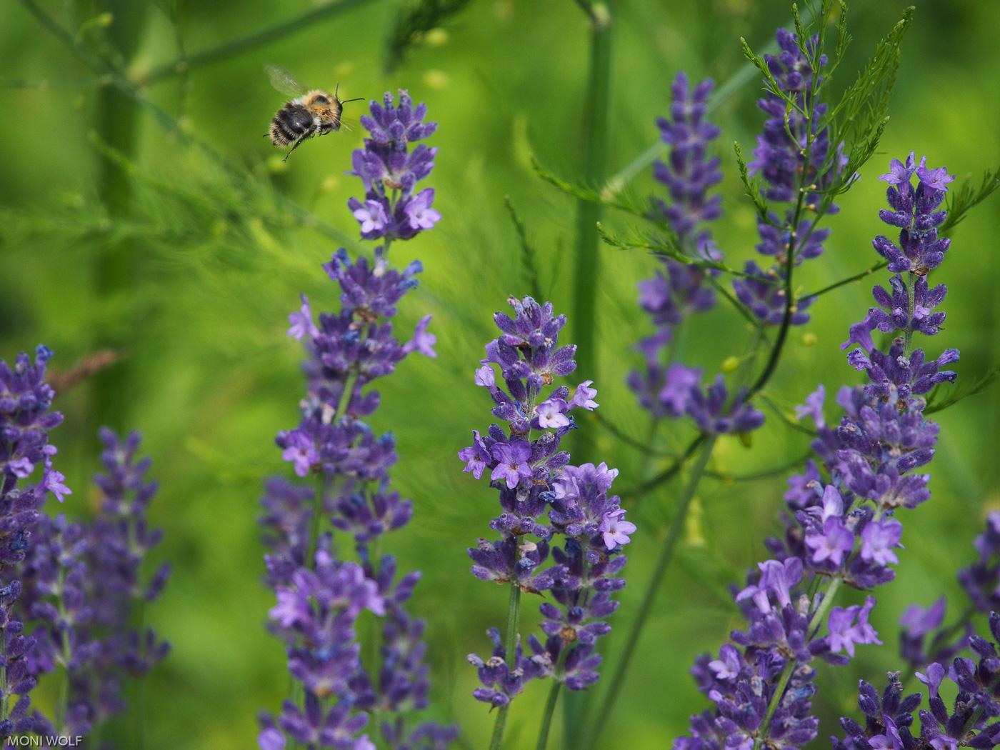 Ackerhummel_und_Lavendel