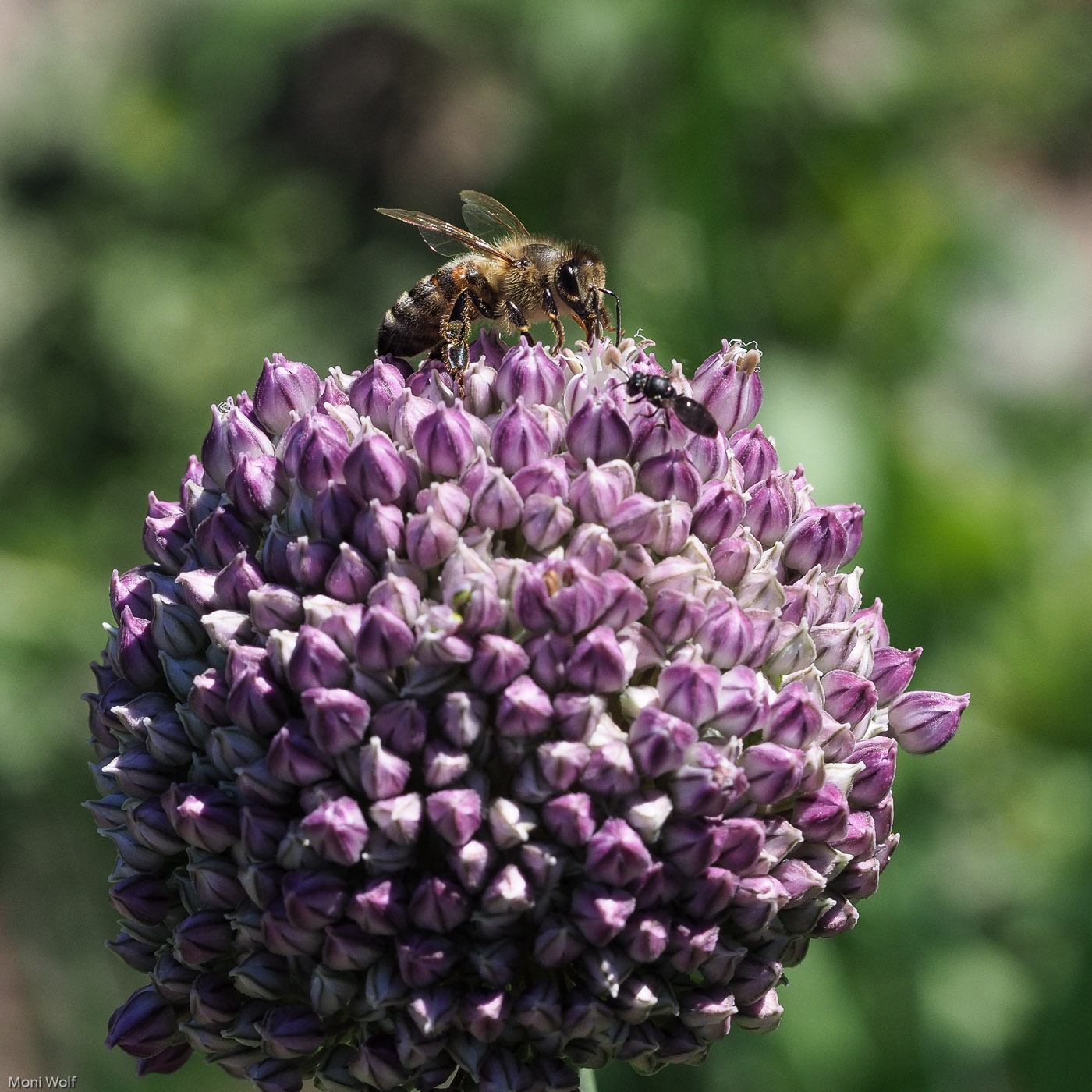 Honigbiene_und_Wildbiene