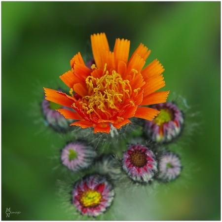 Orangerotes_Habichtskraut